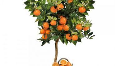 Cum se planteaza si se ingrijesc portocalii