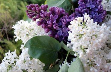 Cum actioneaza floarea de liliac asupra organismului #Liliac #FloareLiliac