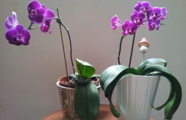 Cum sa inmultesti ORHIDEEA. Metodele acestea te vor incanta #Orhidee #OrhideeInmultire