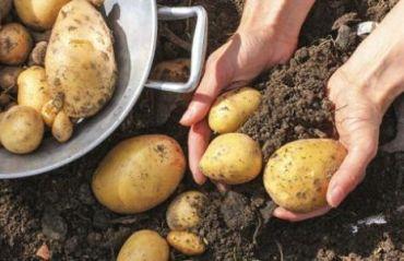 Cum sa pastrezi CARTOFII dupa recoltare #Cartofi #CartofiPastrare