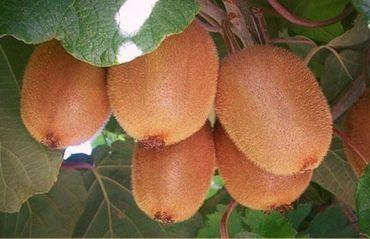 Cum sa cresti kiwi acasa #Kiwi #KiwiPlantare