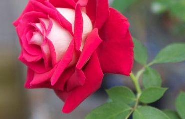 Il recunosti? E unul dintre cei mai frumosi trandafiri. Poate fi in gradina ta! #Trandafiri #TrandafiriSpecii